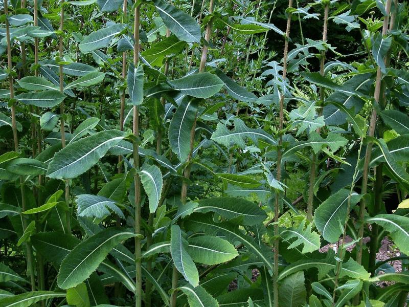 A bunch of wilde lettuce plants