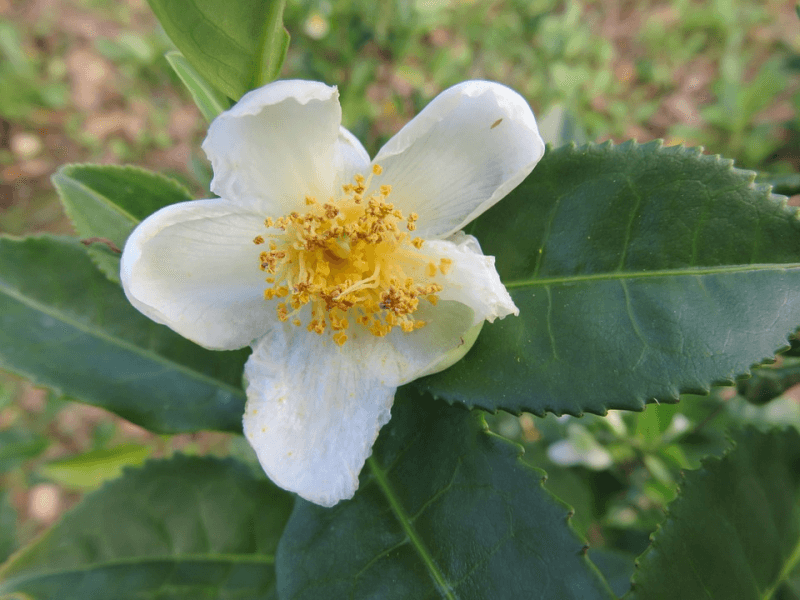 A camellia plant in bloom