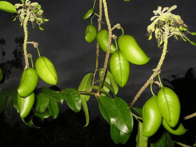 The griffonia plant and its popular seeds