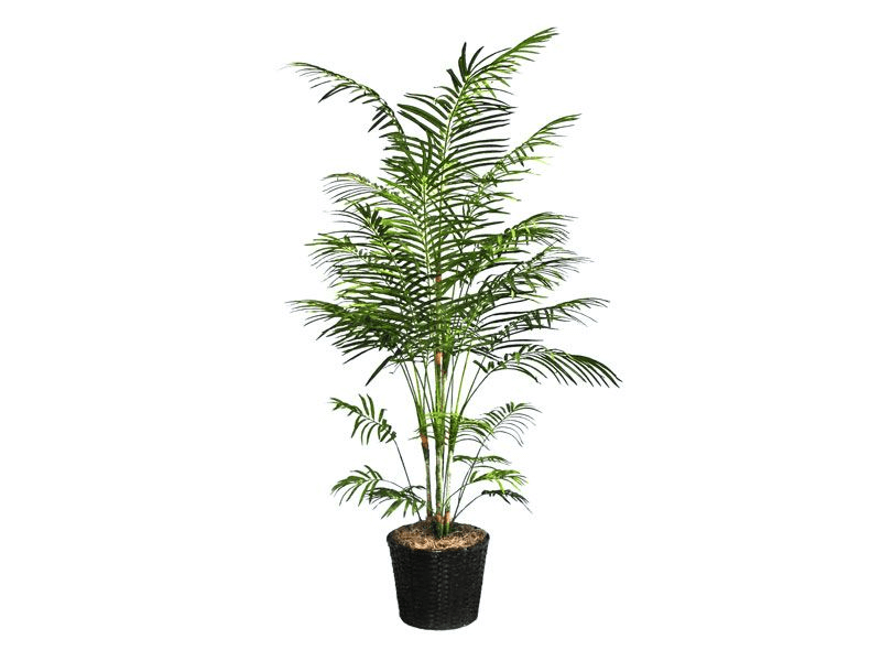 potted Bamboo Palm tree on white background