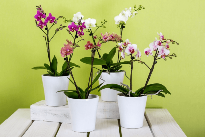 Four potted, pet-friendly moth orchids on a table